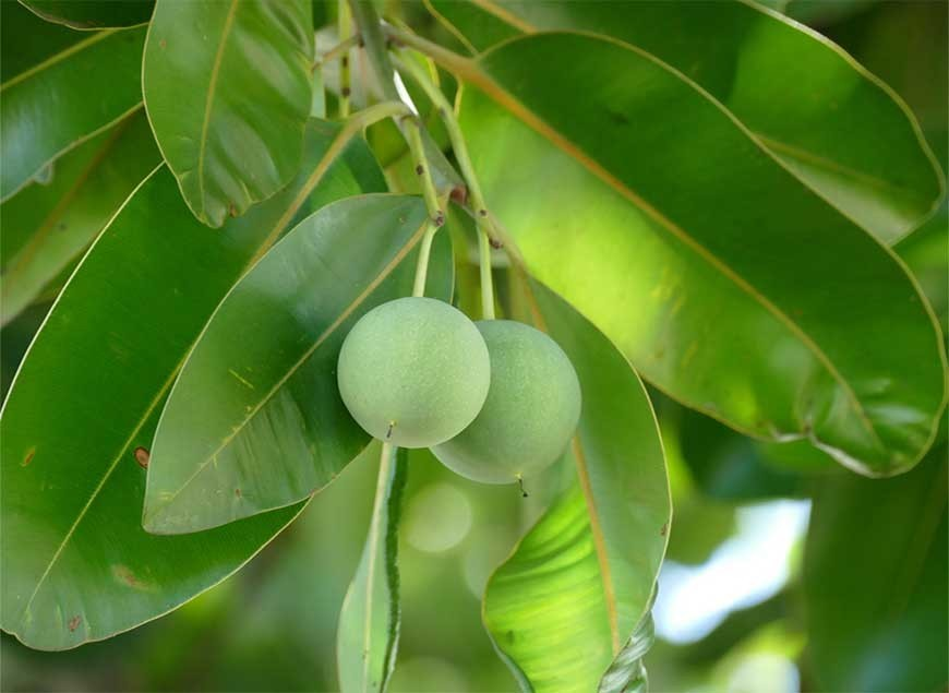 Tamanu OIl: The Pacific Green Gold